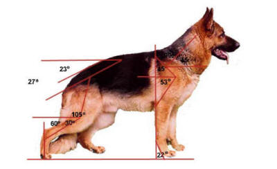 Professional German Shepherd Directory German Shepherd Dog Anatomy