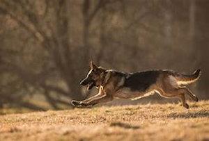 Wimmers German Shepherds