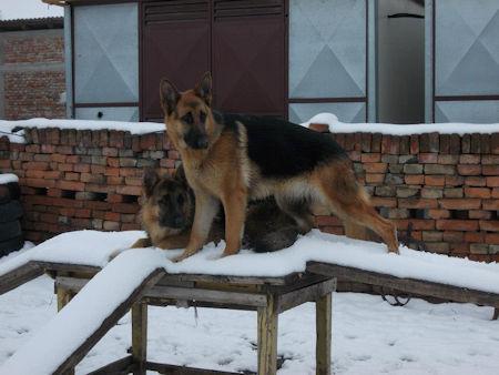 Ilic Milorad German Shepherd Breeder