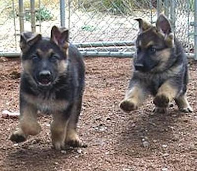 Farbenholt German Shepherds - Arizona, USA