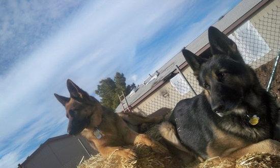 Vintar AKC German Shepherds Arizona